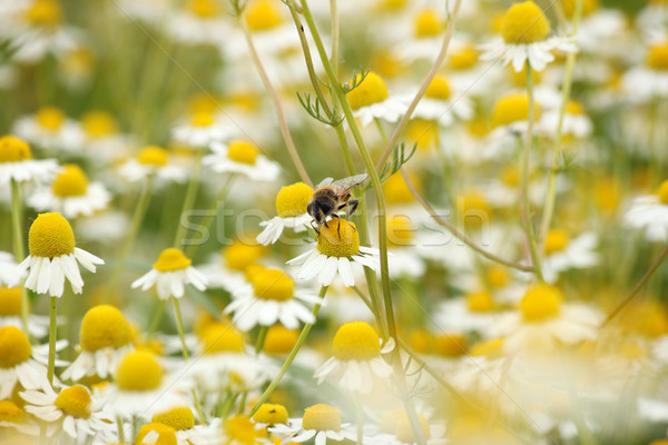 bee on chamomile flower spring season nature background Stock photo © goce