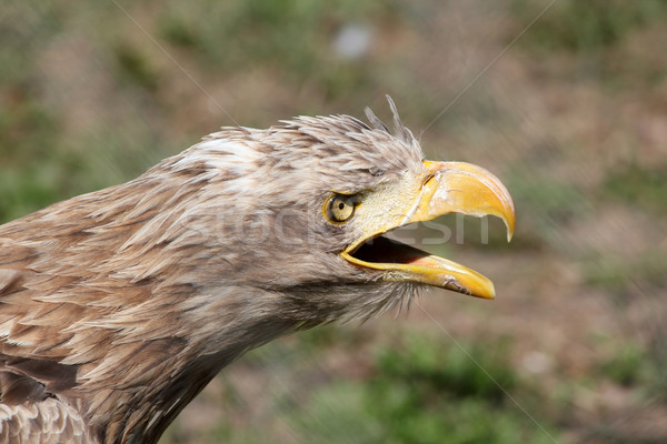 eagle screaming portrait Stock photo © goce