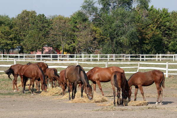 herd of horses eat hay in corral Stock photo © goce