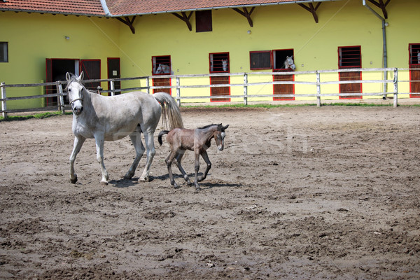 Lipizzaner horse and foal on farm Stock photo © goce