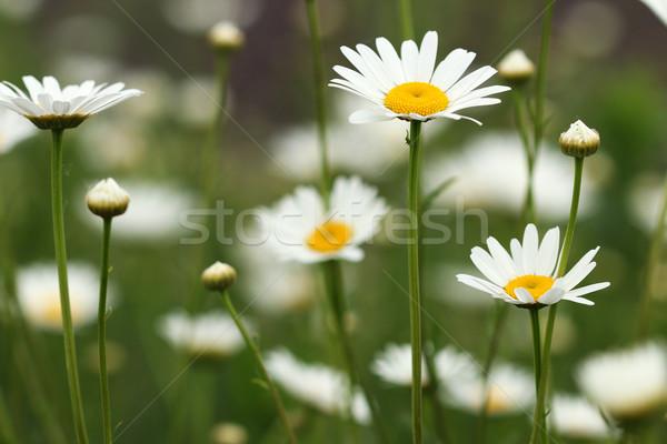 Blanco Daisy flores silvestres pradera primer plano primavera Foto stock © goce