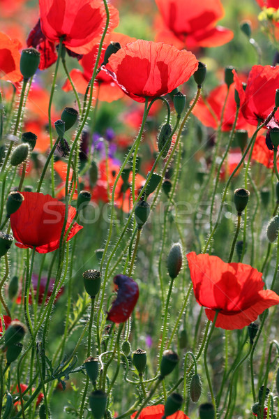 red poppies flower nature background Stock photo © goce