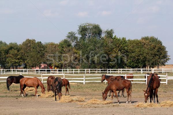 Cavalli mangiare fieno ranch cavallo farm Foto d'archivio © goce