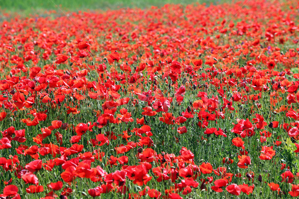 red poppies flower meadow spring season Stock photo © goce