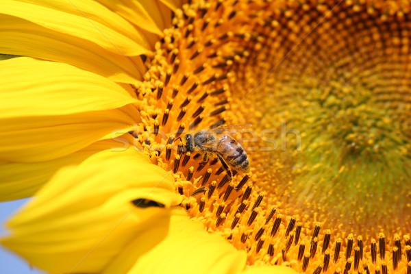 Méh napraforgó nyár természet jelenet virág Stock fotó © goce