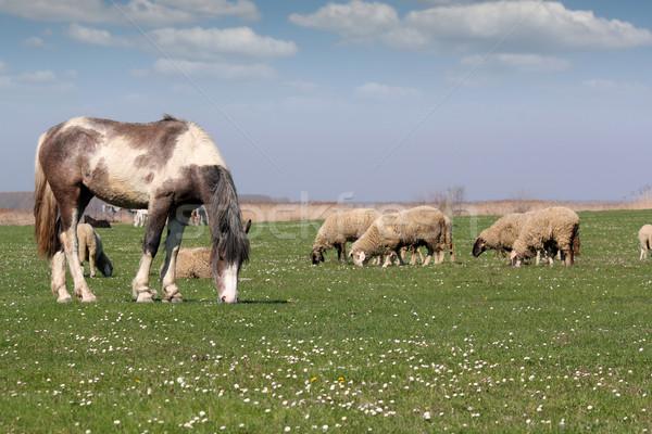 лошади овец пастбище сельскохозяйственных животных весны природы Сток-фото © goce