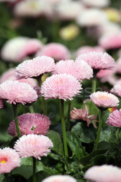 daisy flower garden spring season Stock photo © goce