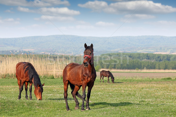 horses grazing on field Stock photo © goce