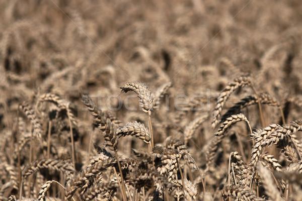 麦畑 農業 夏 シーズン 自然 フィールド ストックフォト © goce