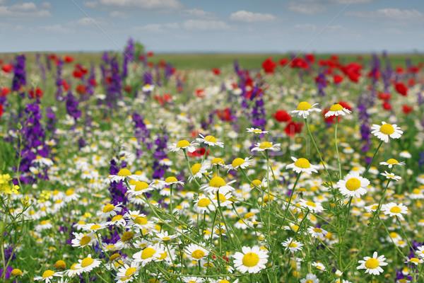 Manzanilla flores silvestres cielo primavera naturaleza paisaje Foto stock © goce