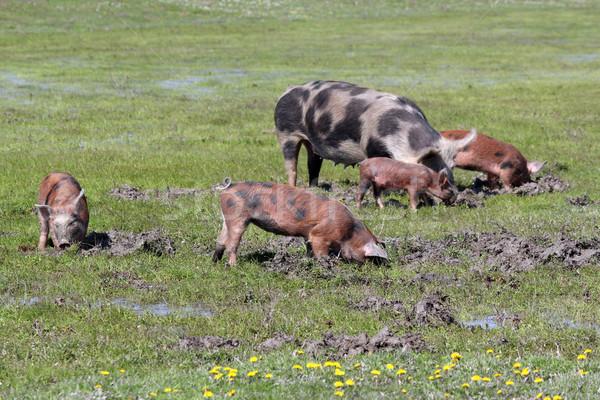 świń błoto gospodarstwa scena wody żywności Zdjęcia stock © goce