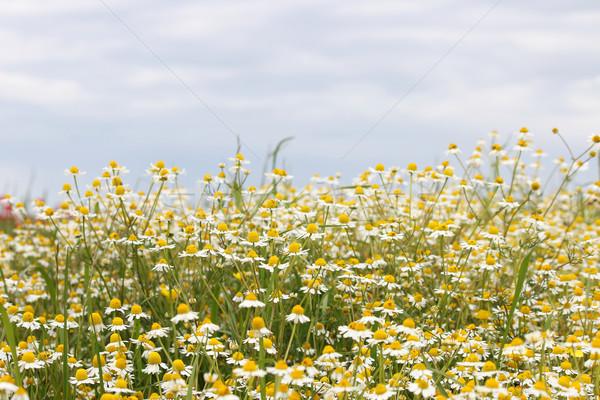 Camomille champ de fleurs printemps saison ciel nature Photo stock © goce