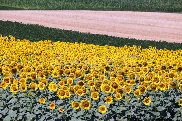Girassol campo agricultura verão temporada natureza Foto stock © goce