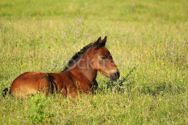 Stock photo: horse brown foal lying in pasture