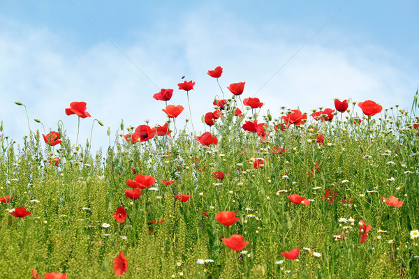 Pipacs vad virágok tavasz évszak égbolt virág Stock fotó © goce