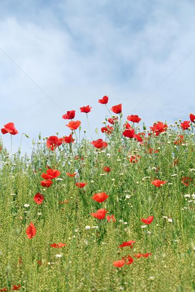 Prado flores silvestres natureza cena céu paisagem Foto stock © goce