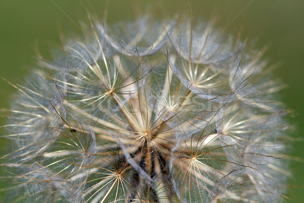 close up dandelion nature background Stock photo © goce