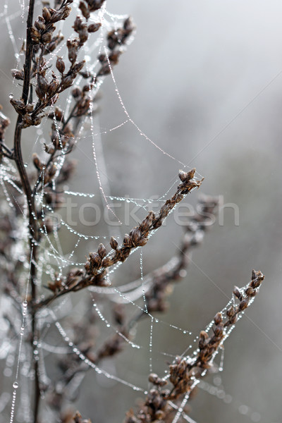 dew drops on spider cobweb closeup Stock photo © goce