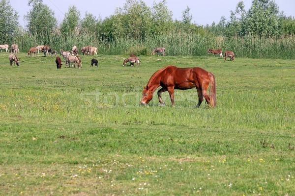 Stock fotó: Barna · ló · testtartás · nyár · évszak · mező