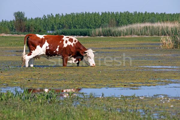 cow standing in water Stock photo © goce