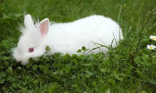 Enano blanco conejo hierba verde primavera bebé Foto stock © goce