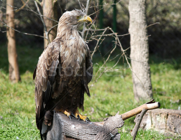 white tailed eagle standing on wood wildlife Stock photo © goce
