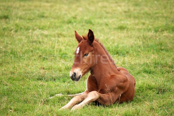 Kahverengi tay yeşil ot alan at çiftlik Stok fotoğraf © goce