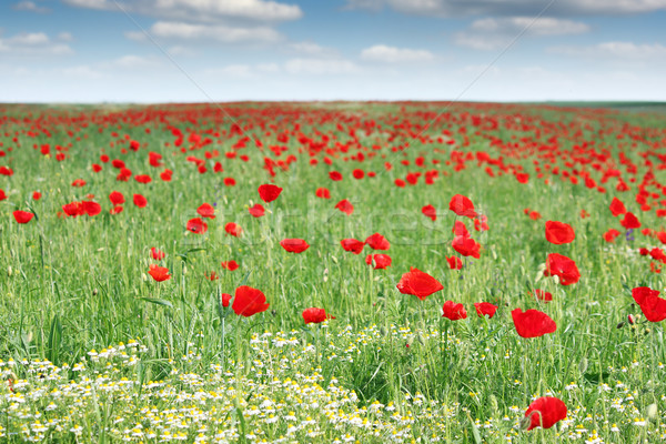red poppy flowers field springtime Stock photo © goce