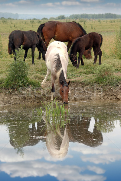 herd of horses on watering place Stock photo © goce