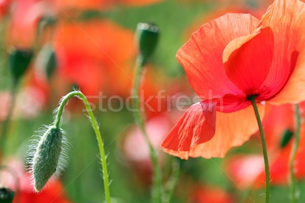 red poppy flower spring season Stock photo © goce