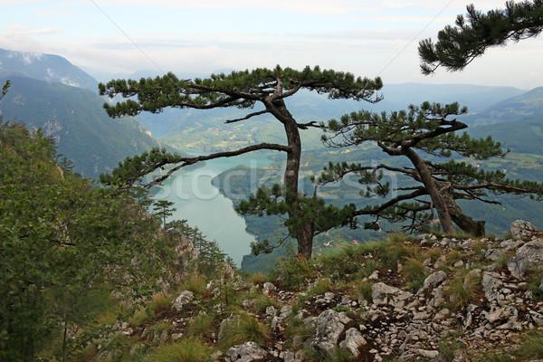 Pine trees on mountain landscape Stock photo © goce