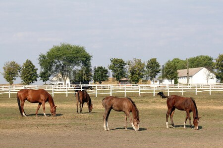horses and foals on farm Stock photo © goce
