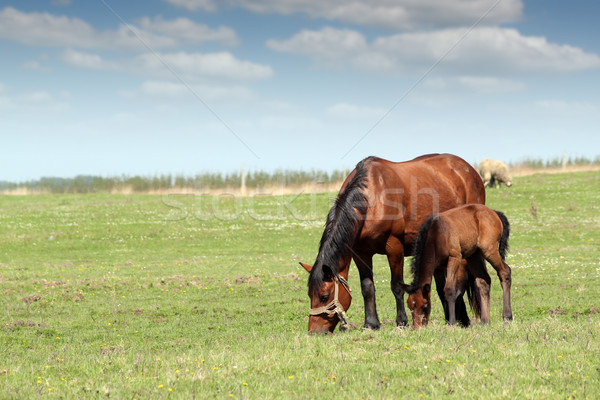 mare and foal on pasture ranch scene Stock photo © goce