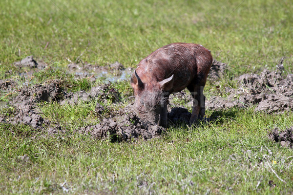 little pig in a mud farm scene Stock photo © goce