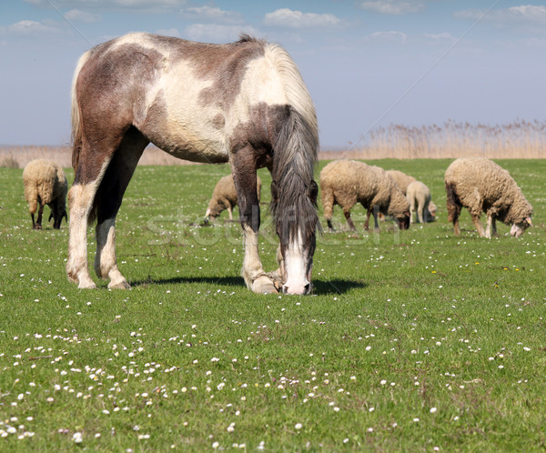 horse and sheep on pasture Stock photo © goce
