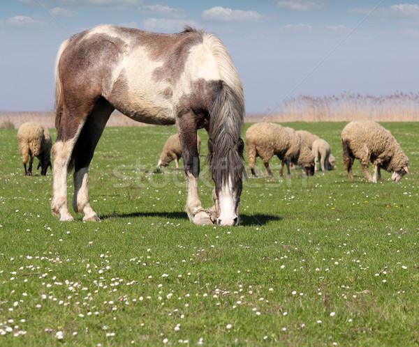 Ló birka testtartás tavasz természet kék Stock fotó © goce