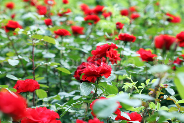 Rood rose bloemen tuin bloem liefde Stockfoto © goce