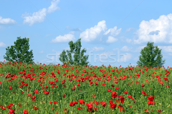 poppies flower trees and blue sky landscape Stock photo © goce