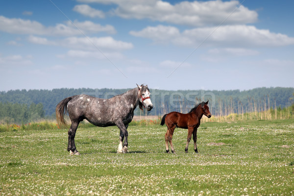 mare and foal on pasture Stock photo © goce
