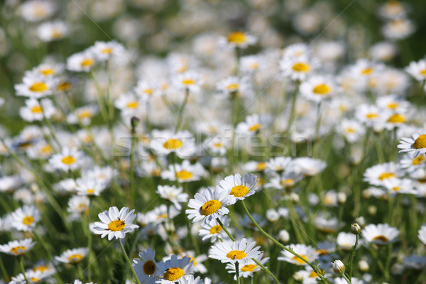 white chamomile flower nature background Stock photo © goce
