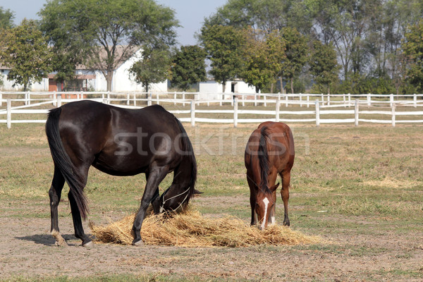 Stock photo: black horse and brown foal eat hay