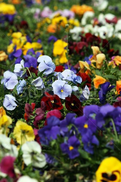 pansy flower garden spring season Stock photo © goce