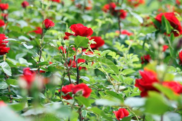 Jardim ? rosas ? vermelhas ? flor ? primavera ? temporada ...