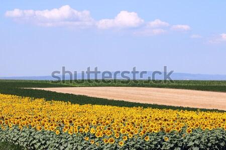 Girassol soja milho campos paisagem céu Foto stock © goce