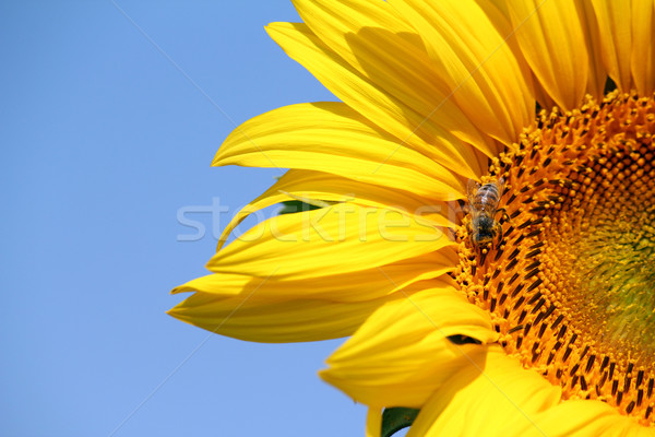 bee on sunflower summer season Stock photo © goce