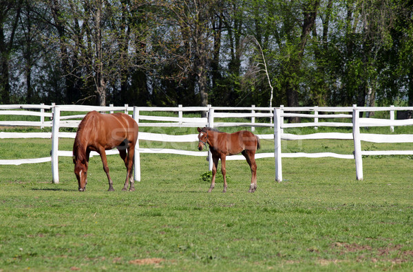 farm with brown horse and foal Stock photo © goce