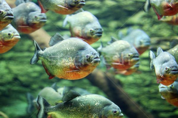 Pływać charakter przyrody ryb czerwony Zdjęcia stock © goce