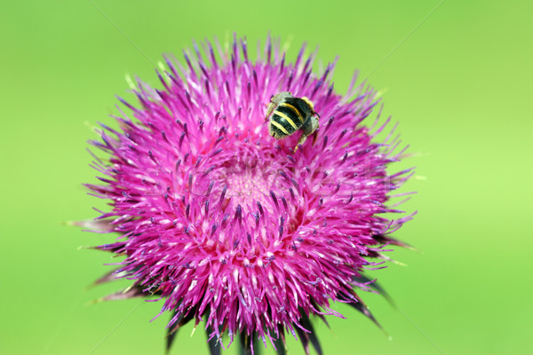 bee collects nectar on purple flower springtime Stock photo © goce