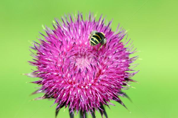 Abelha néctar primavera natureza verão Foto stock © goce