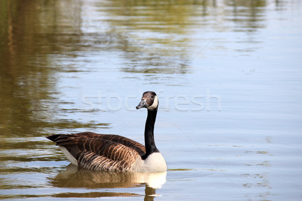 Stock photo: canadian goose swimming in pond nature wildlife